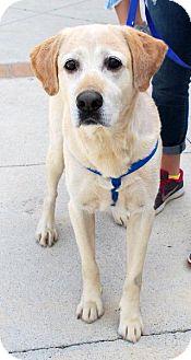 Labrador Retriever Dog for adoption in Madison, Alabama - Cooper