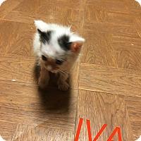 Adopt A Pet :: IVAN - Greenville, OH
