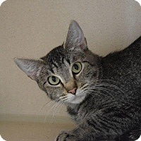 Domestic Shorthair Cat for adoption in Denver, Colorado - Lagertha