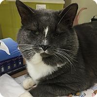 Domestic Shorthair Cat for adoption in Port Hope, Ontario - Tony