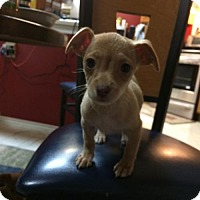 Dachshund/Chihuahua Mix Puppy for adoption in Helotes, Texas - Eeny