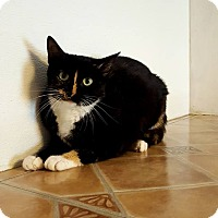 Domestic Shorthair Cat for adoption in Fairmont, West Virginia - Turtle