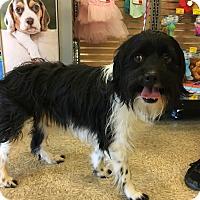 Adopt A Pet :: Domino (BH) - Santa Ana, CA