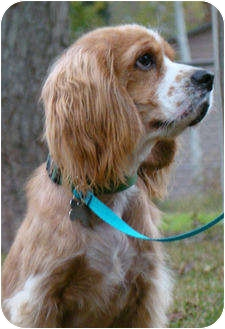 Cocker Spaniel Dog for adoption in Sugarland, Texas - Tiny Tim