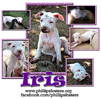 American Bulldog/American Staffordshire Terrier Mix Puppy for adoption in Colleyville, Texas - Iris