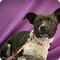 Adopt A Pet :: Alice - Broomfield, CO