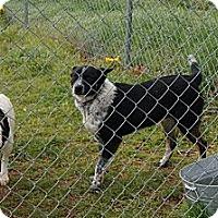 Adopt A Pet :: Bandyt - Conway, AR