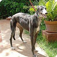 Adopt A Pet :: Jada - Tampa, FL
