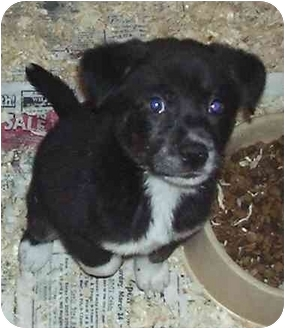 Puppy | Adopted Puppy | Corinth, NY | Border Collie/Chow ...