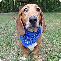 Adopt A Pet :: Bud-Bud - Mocksville, NC
