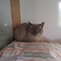 Siamese Cat for adoption in Sherman Oaks, California - Kiana