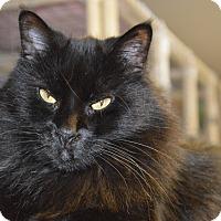 Domestic Longhair Cat for adoption in House Springs, Missouri - Kiki
