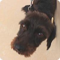 Adopt A Pet :: Scruffy - Caledon, ON