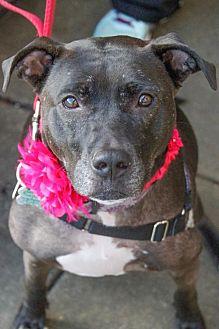 American Staffordshire Terrier/Labrador Retriever Mix Dog for adoption in Fredericksburg, Virginia - Mitzy- Lucky Dog Rescue