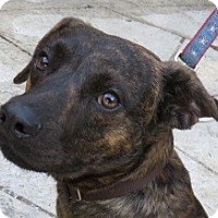 Adopt A Pet :: Donnie! Brindle Charmer! - St Petersburg, FL