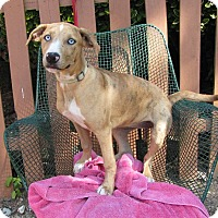Catahoula Leopard Dog Mix Dog for adoption in Oakland, Arkansas - Gypsy