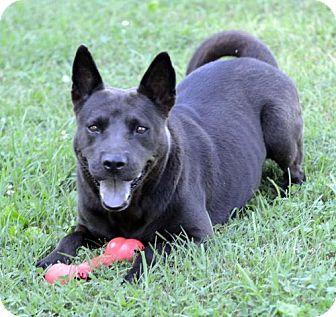 Australian Kelpie/Chow Chow Mix Dog for adoption in Potomac, Maryland - Raven
