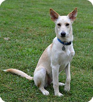 German Shepherd Dog Mix Dog for adoption in Homewood, Alabama - Blanca