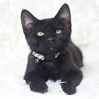 Domestic Shorthair Kitten for adoption in Rocklin, California - Rocket