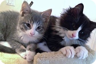 Domestic Mediumhair Kitten for adoption in Mt. Vernon, New York - Kittens - Tom & Jerry - Comical Pair