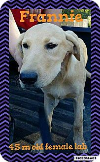 Labrador Retriever Mix Puppy for adoption in Ringwood, New Jersey - Frannie