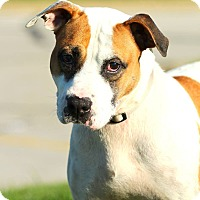 Adopt A Pet :: Bandit - Lafayette, IN