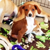 Miniature Pinscher/Italian Greyhound Mix Puppy for adoption in Peralta, New Mexico - **LITTLE MIKEY
