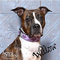 Boxer/American Bulldog Mix Dog for adoption in Valparaiso, Indiana - Willow
