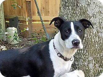 Labrador Retriever Mix Puppy for adoption in Conroe, Texas - Bella