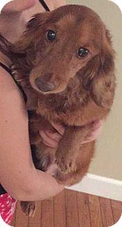 Dachshund Mix Dog for adoption in Foristell, Missouri - Stan