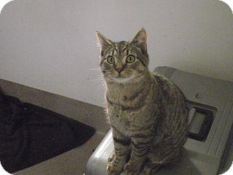 Domestic Shorthair Cat for adoption in Chambersburg, Pennsylvania - Honey Monster