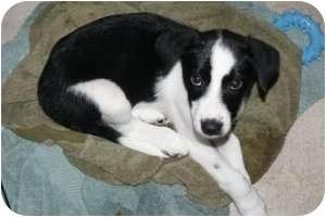 Husky Border Collie Mix Puppies Border Collie Husky Mi...