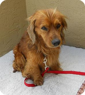 Cocker spaniel dachshund mix puppy - photo#15