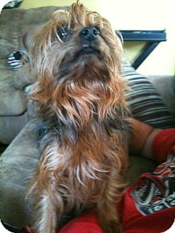 Yorkie, Yorkshire Terrier Dog for adoption in St. Louis, Missouri - Wego
