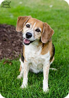 Beagle Dog for adoption in Howell, Michigan - Lilly