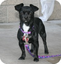 Chihuahua/Pug Mix Dog for adoption in Scottsdale, Arizona - Pepper