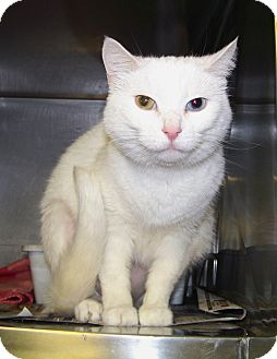 Domestic Shorthair Cat for adoption in Dover, Ohio - Daisey