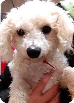 Bichon Frise Mix Dog for adoption in Green Bay, Wisconsin - Clarabelle