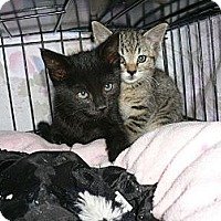 Adopt A Pet :: Kittens - Brea, CA