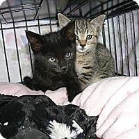 Adopt A Pet :: Kittens - lake elsinore, CA