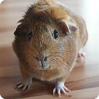 Adopt A Pet :: Zucca - Brooklyn Park, MN