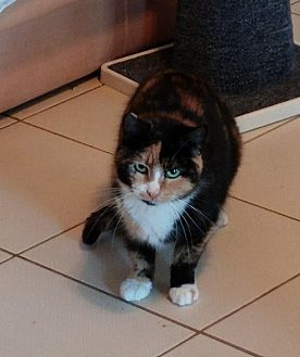 Calico Cat for adoption in Middletown, New York - Cleo