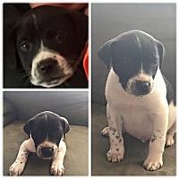 Adopt A Pet :: Oreo - Wappingers, NY