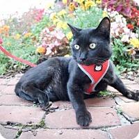 American Shorthair Cat for adoption in Dublin, Virginia - Binx
