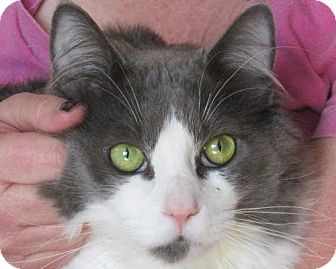 Domestic Mediumhair Cat for adoption in Springfield, Oregon - Victor