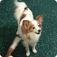Adopt A Pet :: Fox - Las Vegas, NV