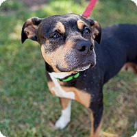 Boxer/Staffordshire Bull Terrier Mix Dog for adoption in San Diego, California - Saguaro