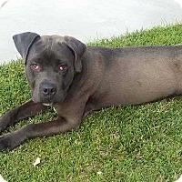 Adopt A Pet :: Joe - Livermore, CA