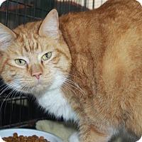 Domestic Shorthair Cat for adoption in Grinnell, Iowa - Binkie