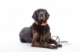 Labrador Retriever/Setter (Unknown Type) Mix Dog for adoption in Shell Lake, Wisconsin - Haley